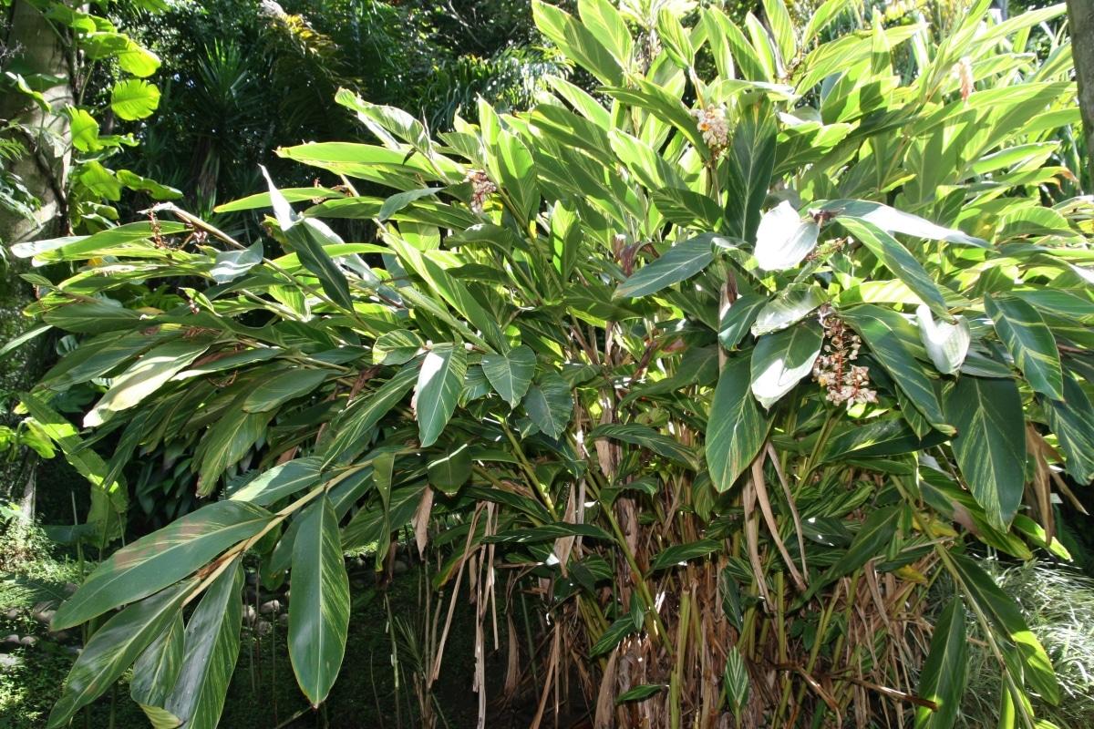 La Alpinia es una planta rizomatosa
