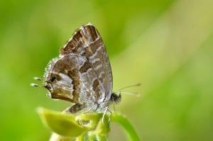 Cacyreus marshalli fase adulta
