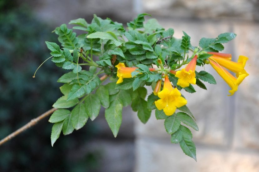 Campsis radicans var. flava, de flor amarilla