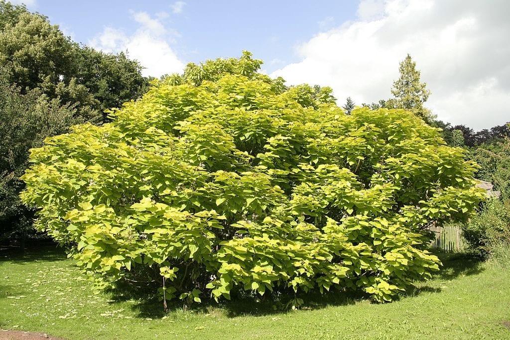 Catalpa bignonoioides 'Aurea'