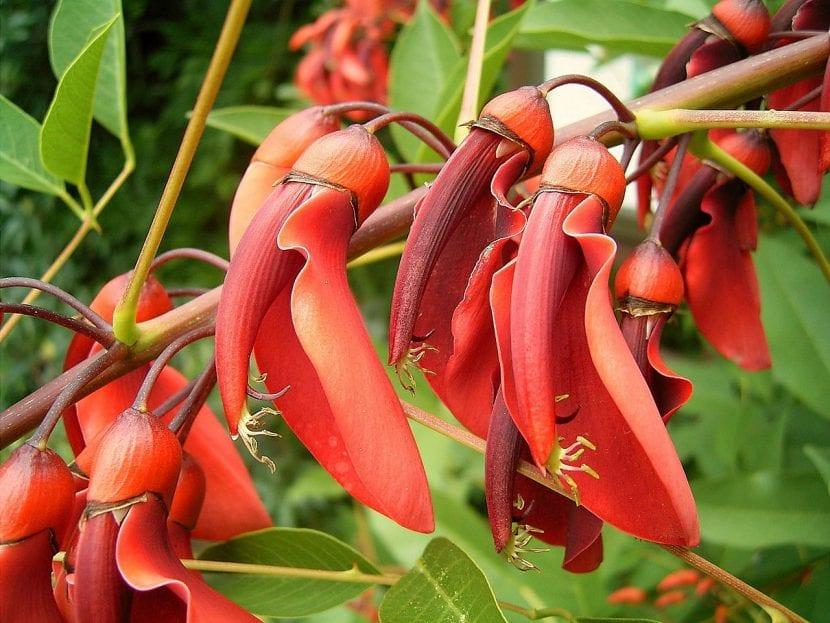 Erythrina crista-galli en flor