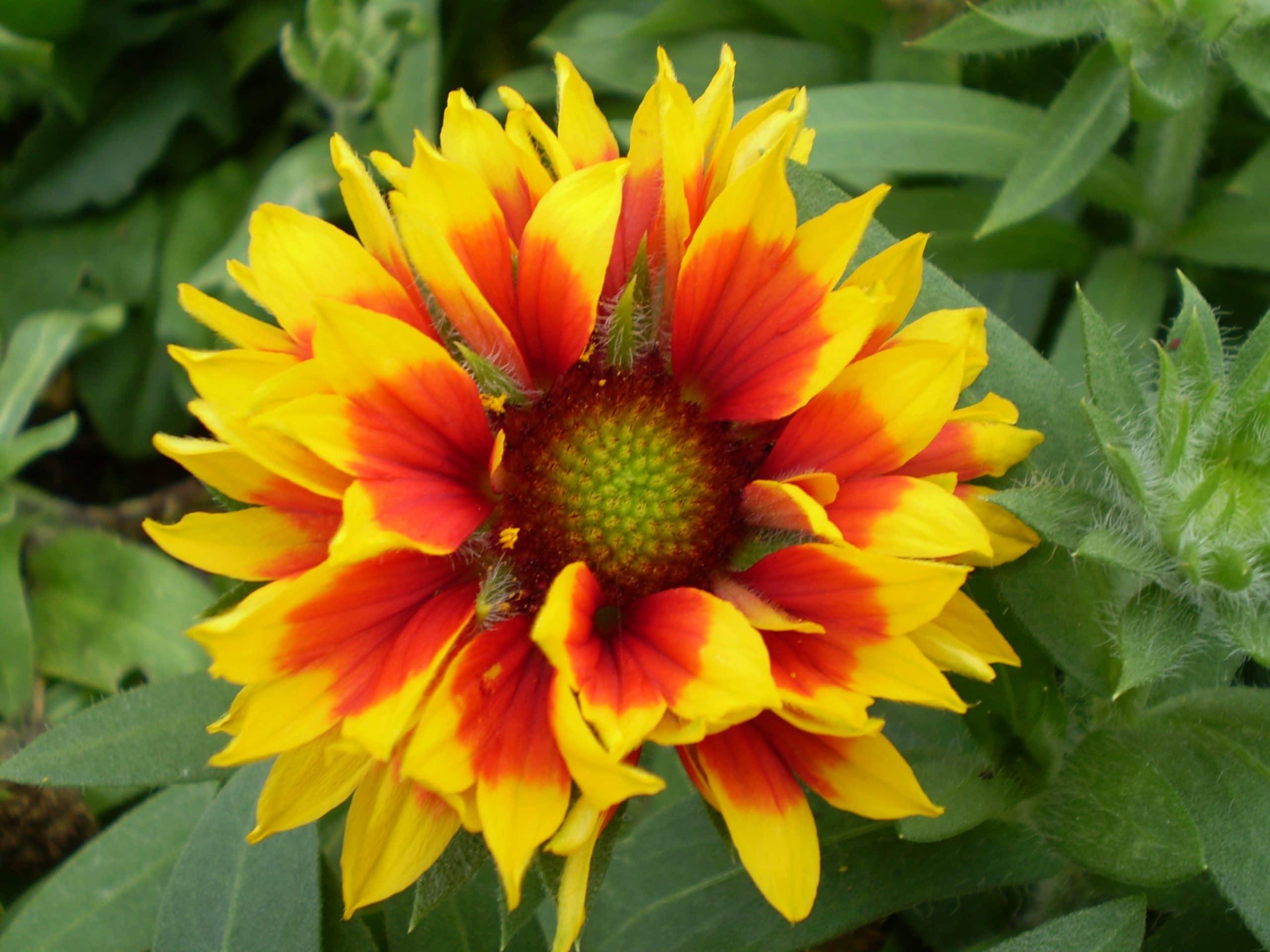 Gaillardia en flor