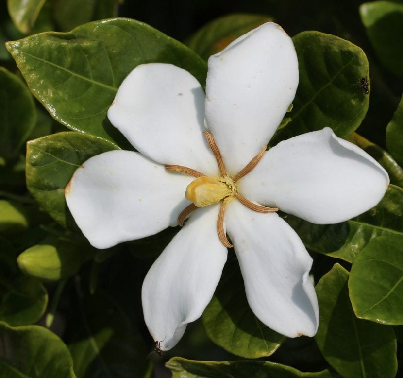 Gardenia jasminoides en flor