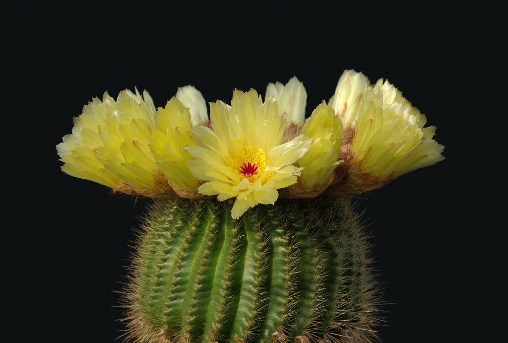 Los Cactus Con Flores Más Espectaculares