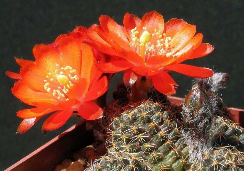 Rebutia iscayachensis en flor