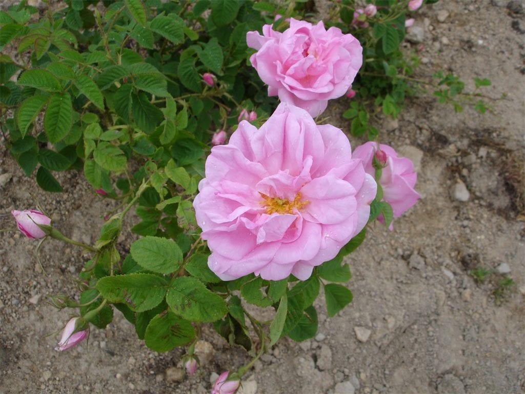 Rosa damascena de color rosa
