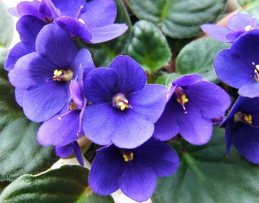 Violeta africana en flor