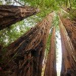 Grupo de Sequoia sempervirens