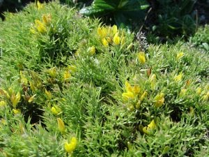 Ulex parviflorus