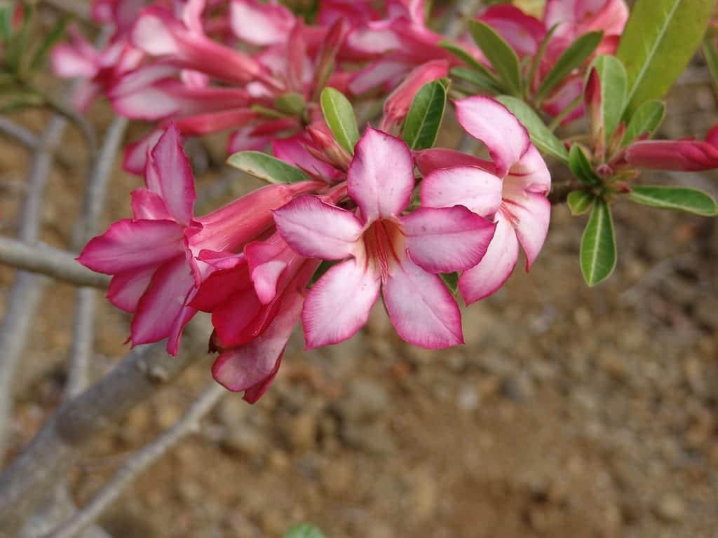 Adenium obesum en flor