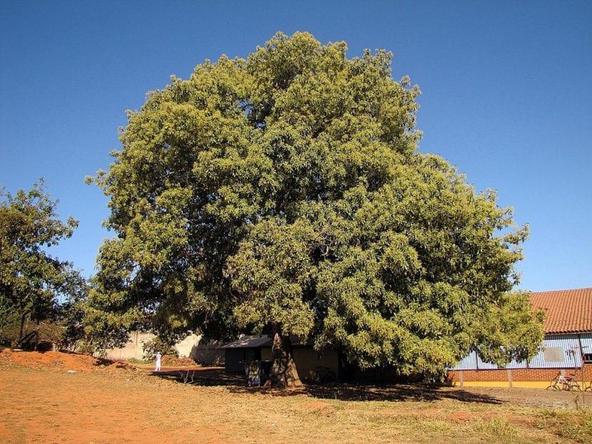 imponente árbol de Aguacate
