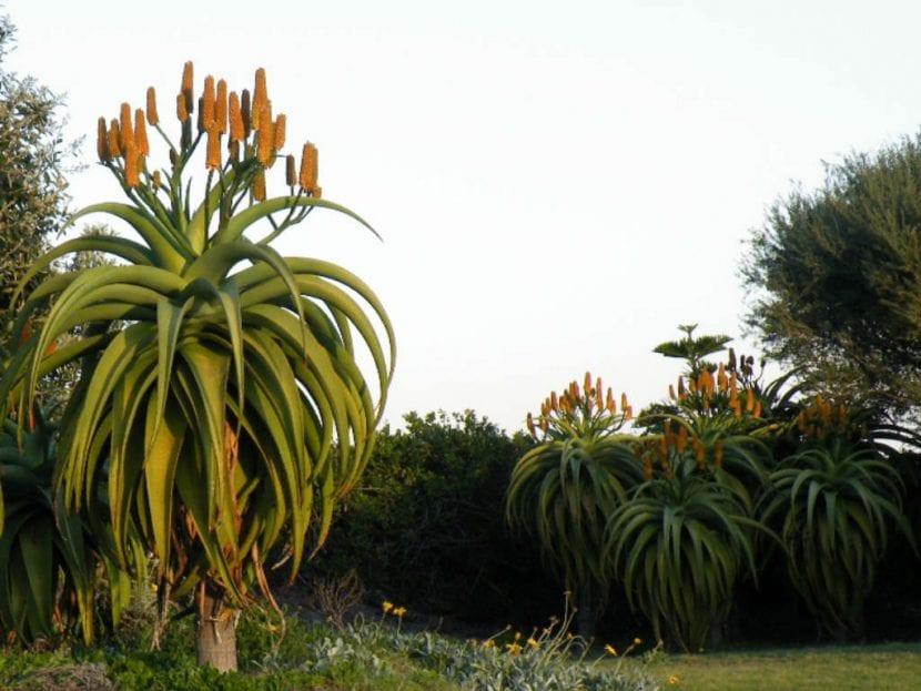 Ejemplares adultos de Aloe traskii