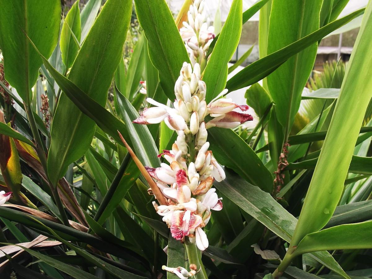 La alpinia es una planta tropical