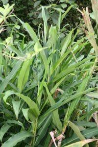 La Alpinia nutans es una hierba