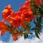Campsis radicans en flor