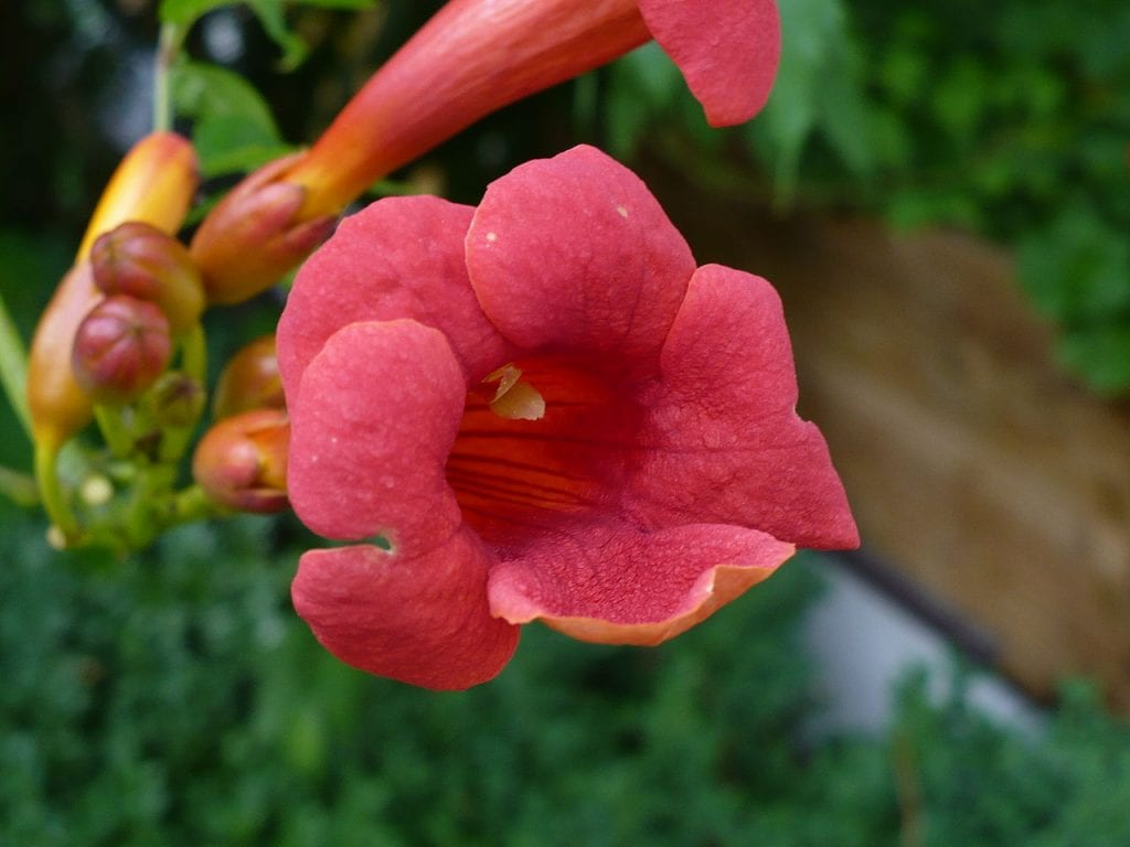 La flor de la Campsis radicans es muy decorativa