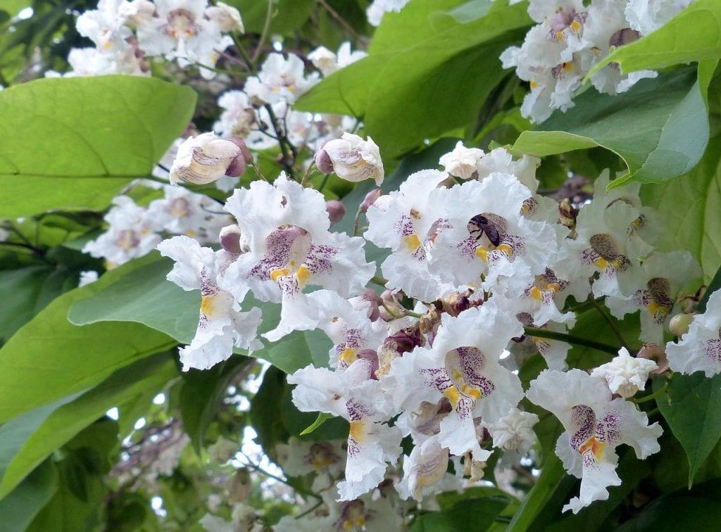 Catalpa en flor