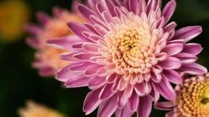 Crisantemo de flor rosa