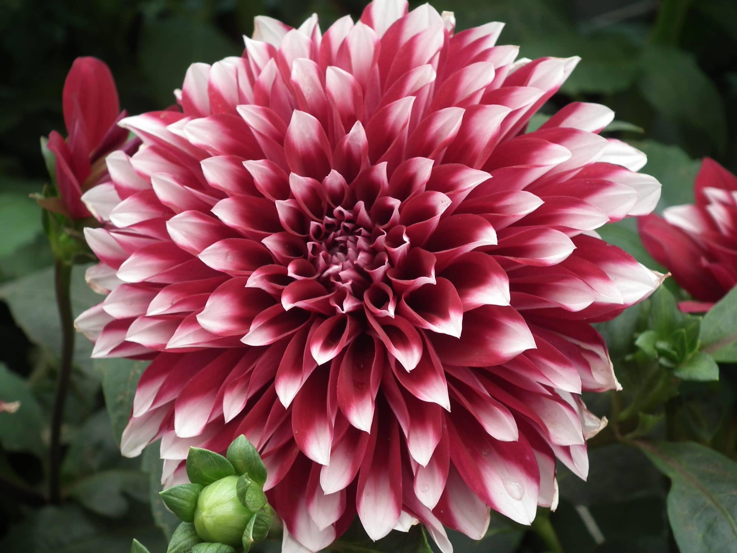 Flor de la planta bulbosa Dalia
