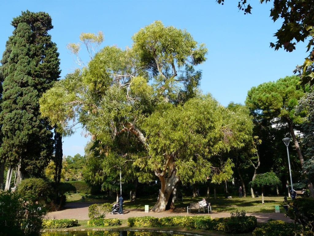 El eucalipto el rbol que crece 1 metro por a o for Arboles crecimiento rapido hoja perenne