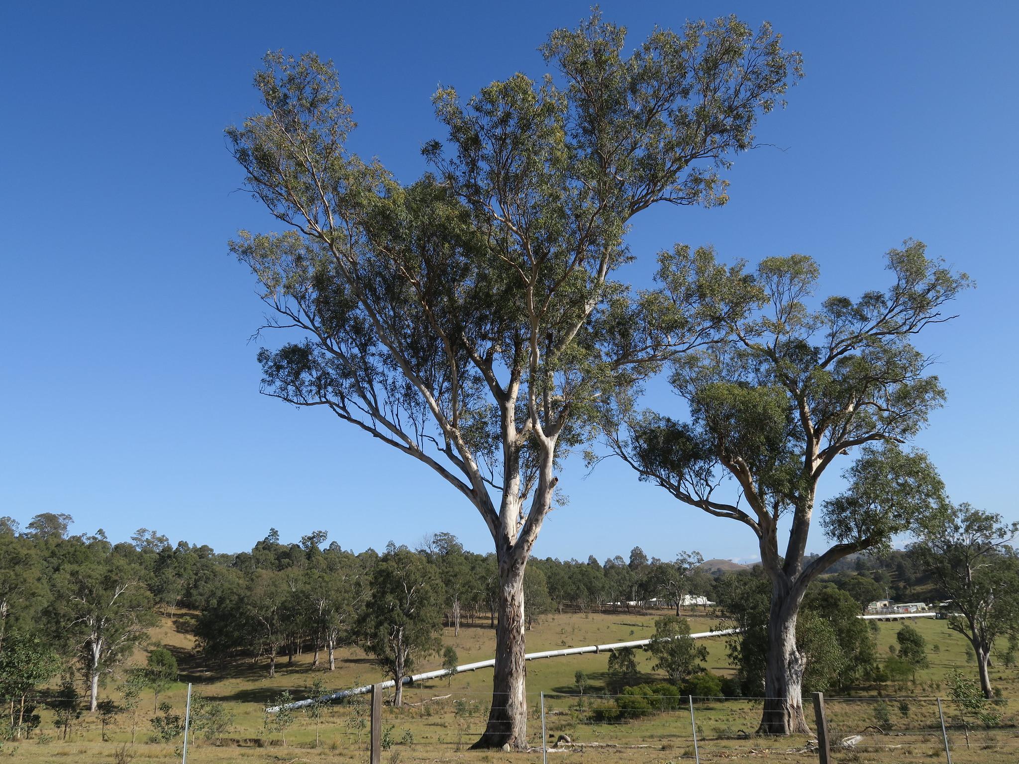 Los eucaliptos son originarios de Oceanía