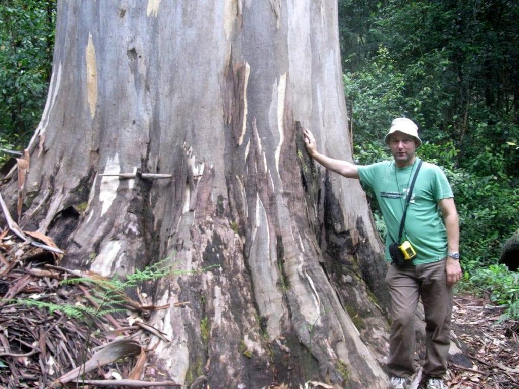 Tronco de Eucaliptus deanei