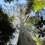 Bosque de Eucalyptus regnans