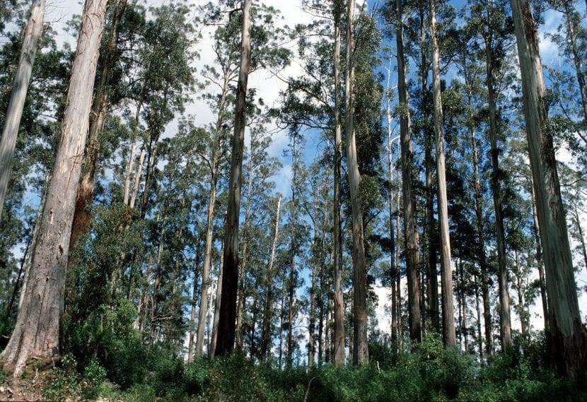 Eucalyptus regnans en hábitat