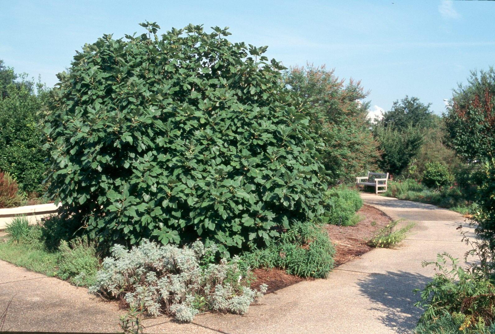 Ficus carica en el jardín