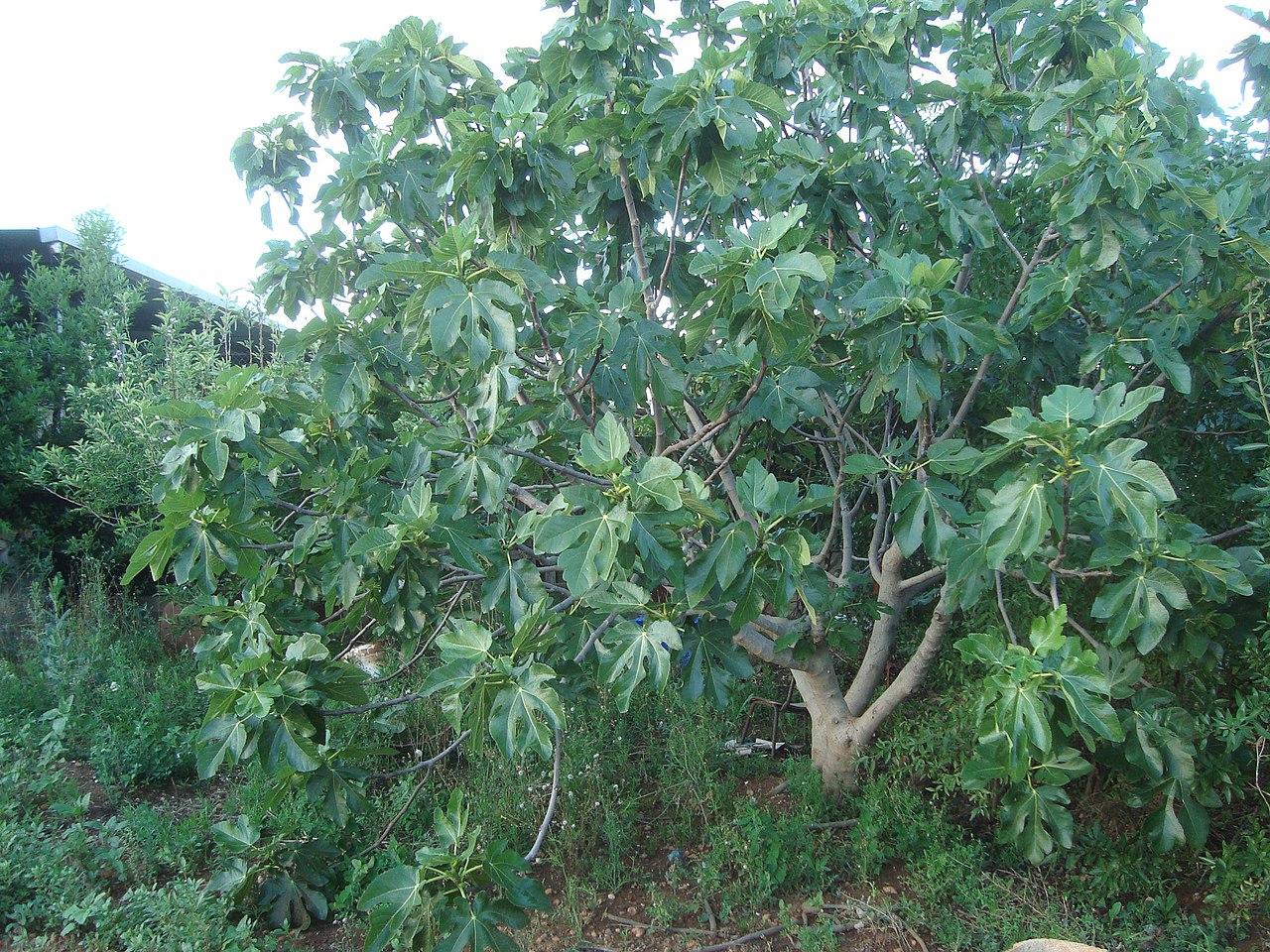 La higuera es un árbol caducifolio