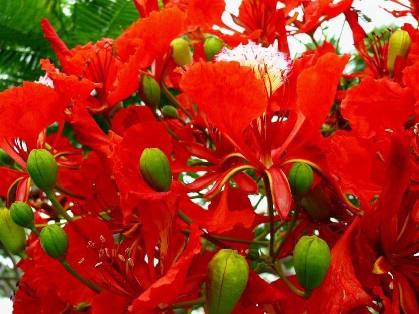 Flores de flamboyán