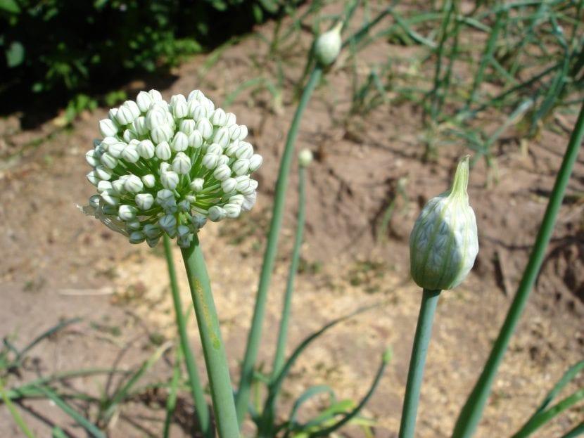 Flor de escalonia
