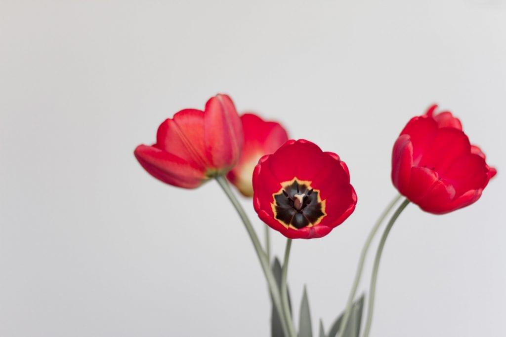 Florero con tulipanes rojos