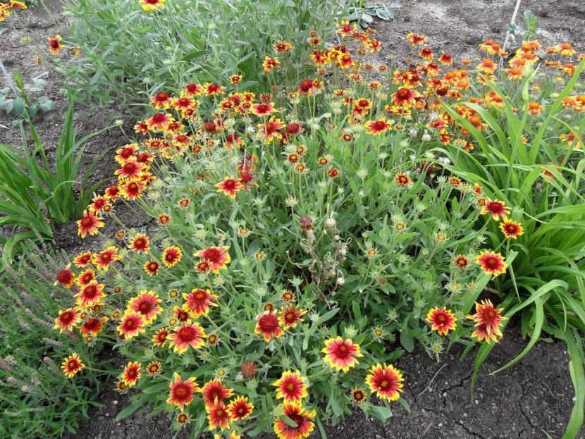 Gaillardia con flores