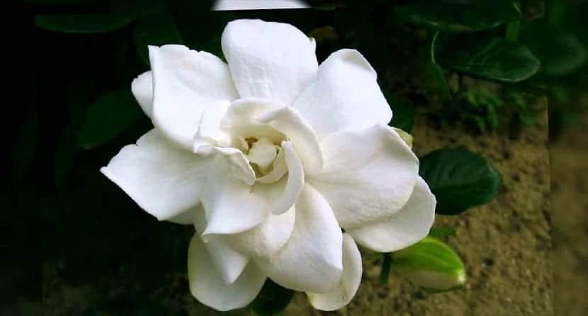 las gardenias dan un buen aroma para el hogar