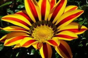 Gazania de flor roja y amarilla