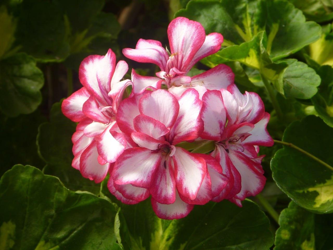 Geranio de flores bicolores (rosa y blanco)