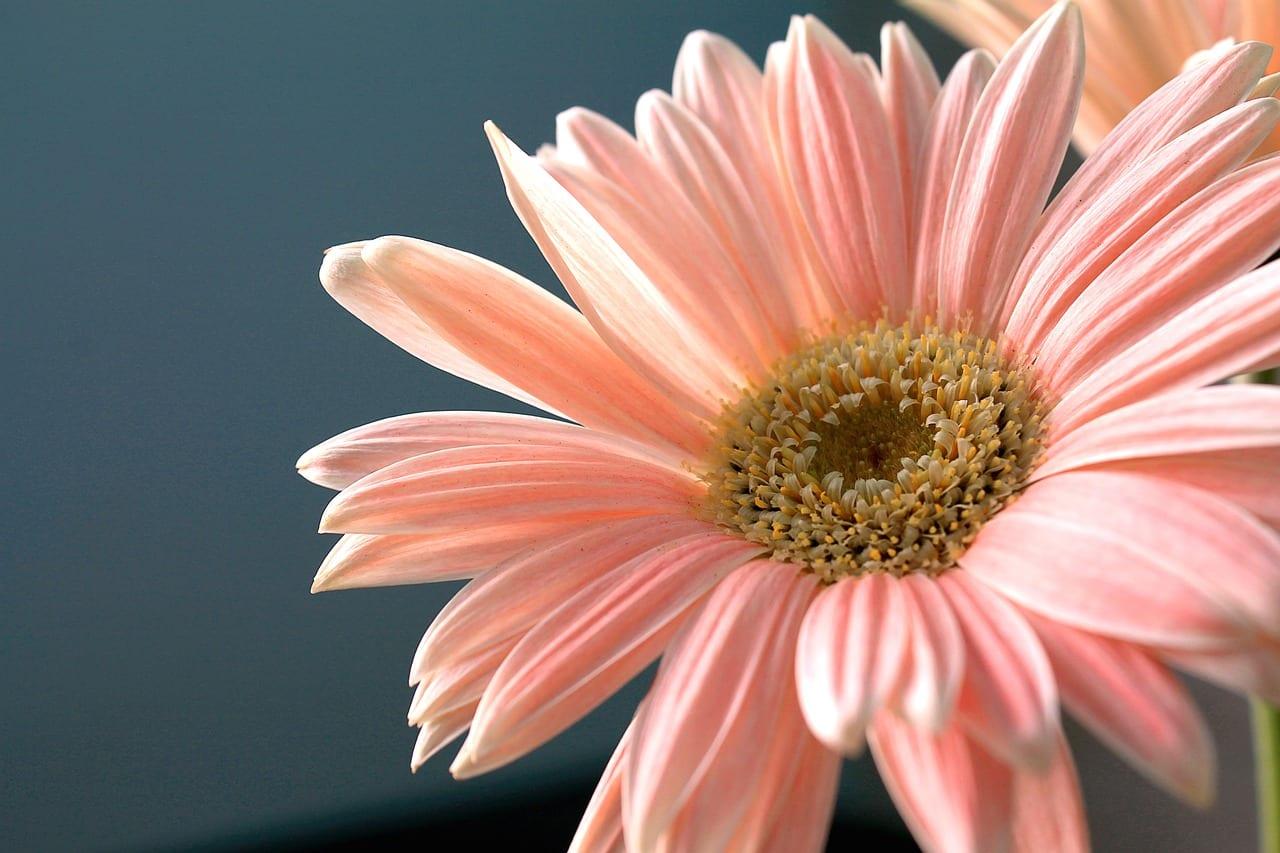 Flor de Gerbera jamesonii