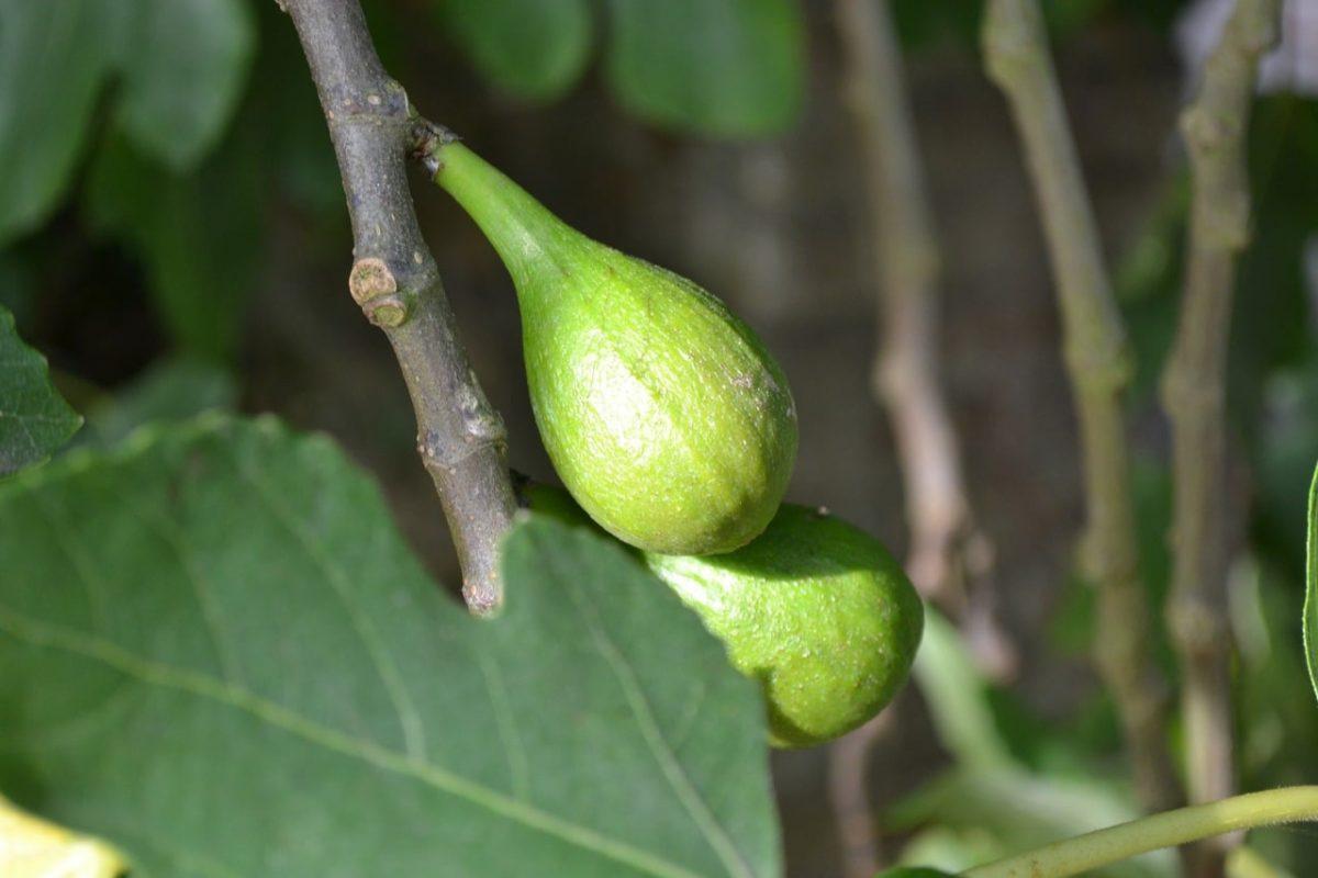 La higuera da frutos comestibles cuando se cultiva en suelos calizos