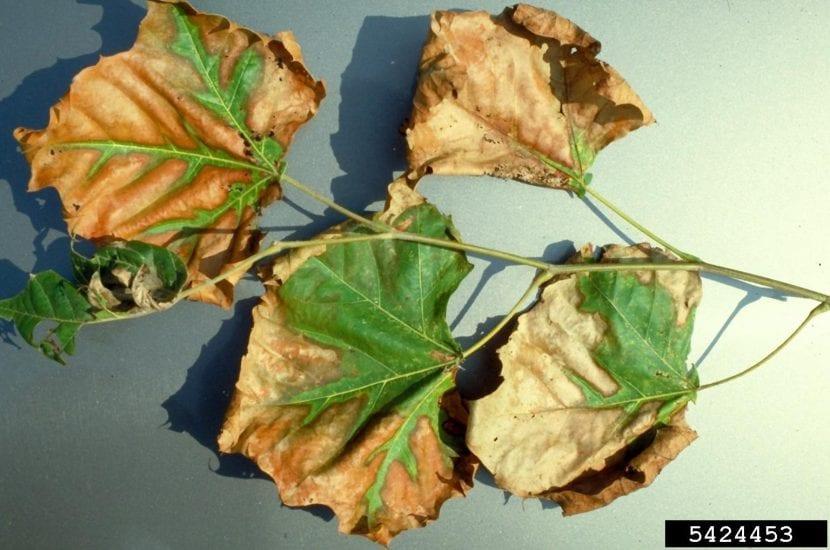 Hojas secas por la infección de Xylella fastidiosa