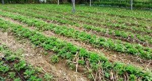 importancia de la rotación de cultivos