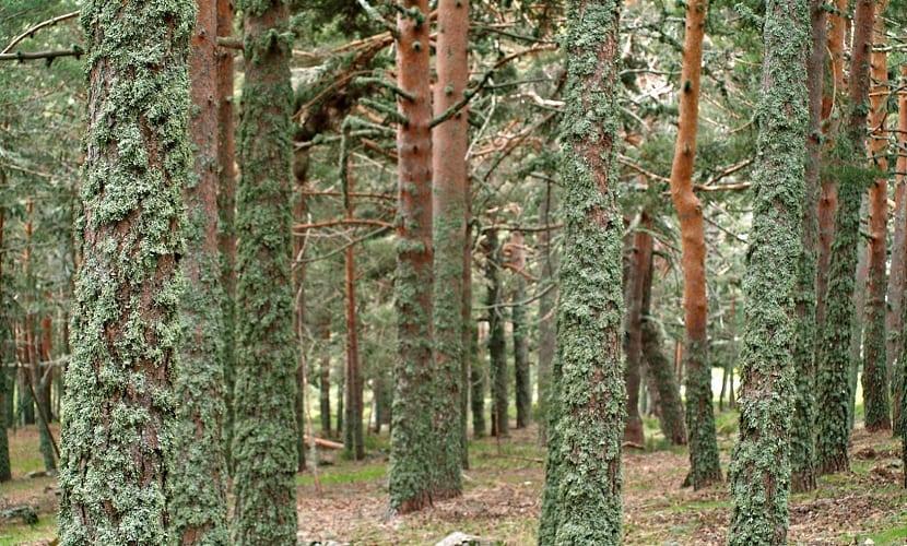 los líquenes pueden crecer en los árboles
