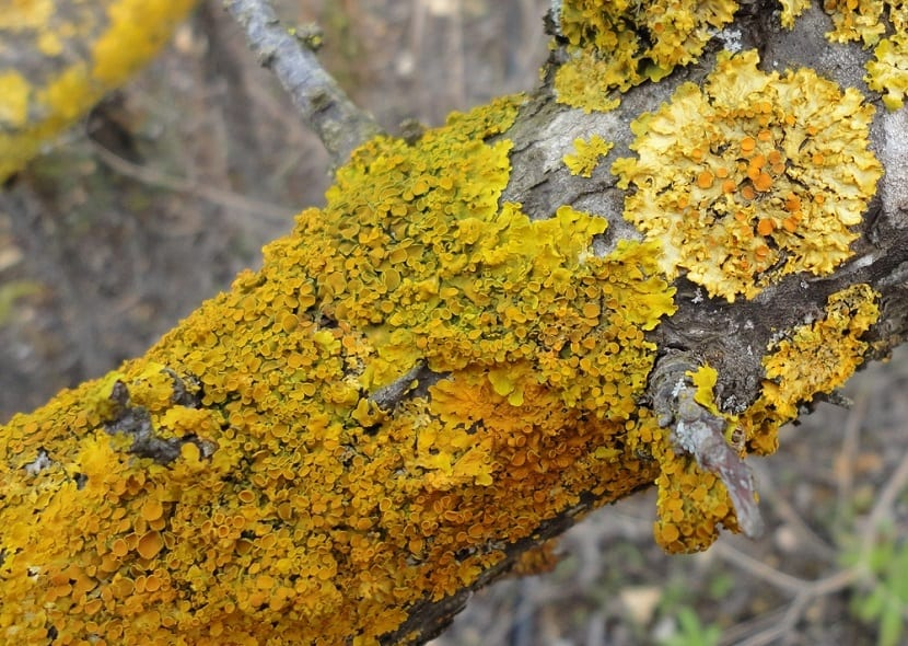 liquen simbiosis entre alga y hongo