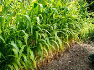El maíz es una gramínea muy cultivada