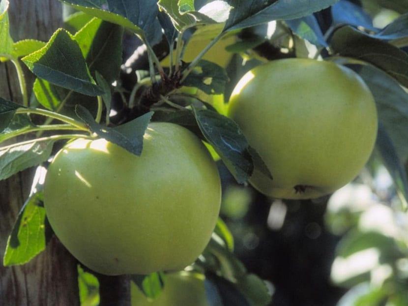 manzanos y perales