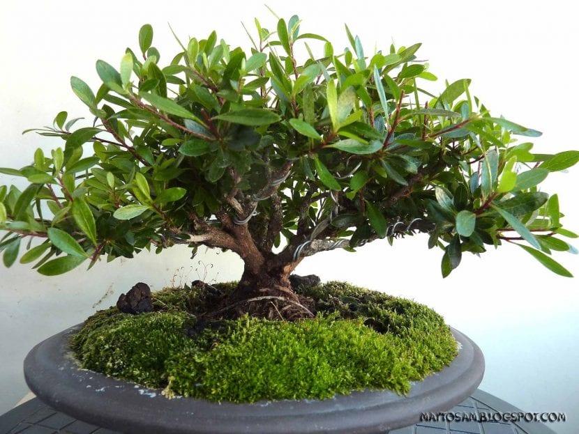 Musgo en bonsái de Azalea