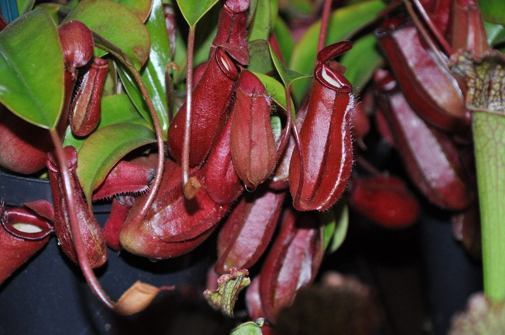 Nepenthes ''Bloody Mary''