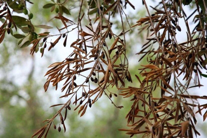 Olivo con síntomas de Xylella fastidiosa