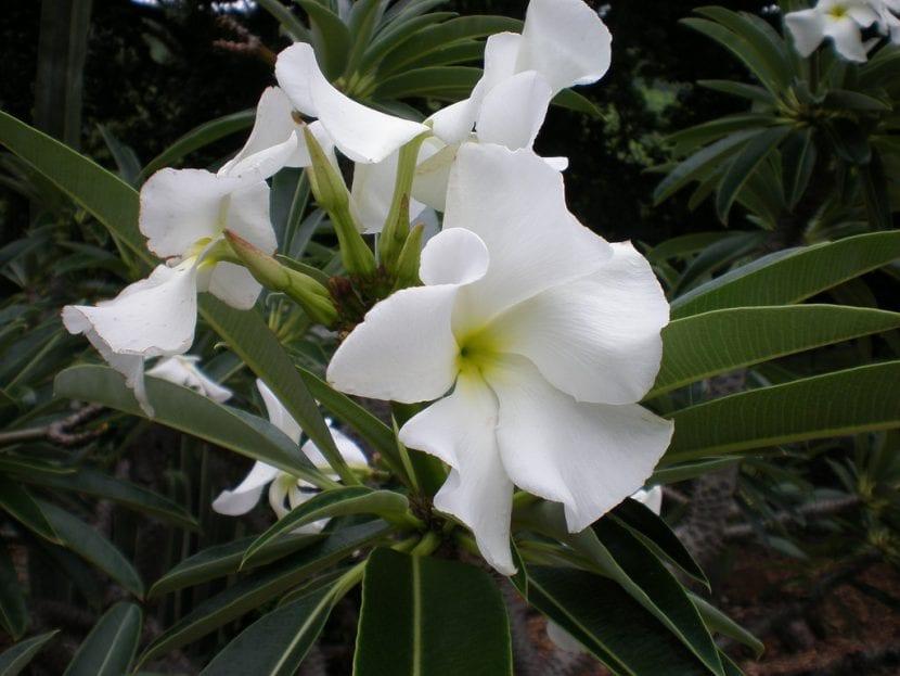 Flores del Pachypodium lamerei