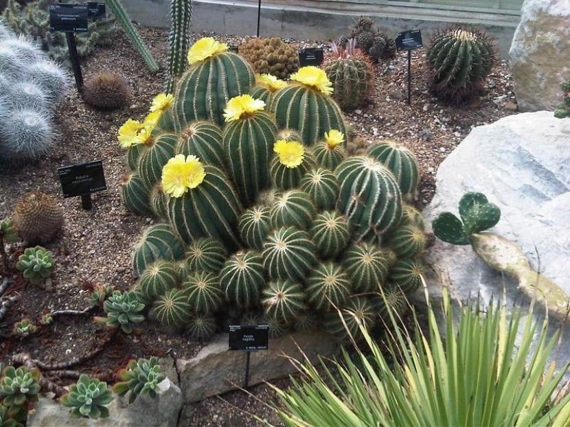 Parodia magnifica en los jardines de Kew